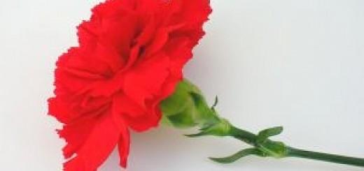 garofano-rosso_2311789
